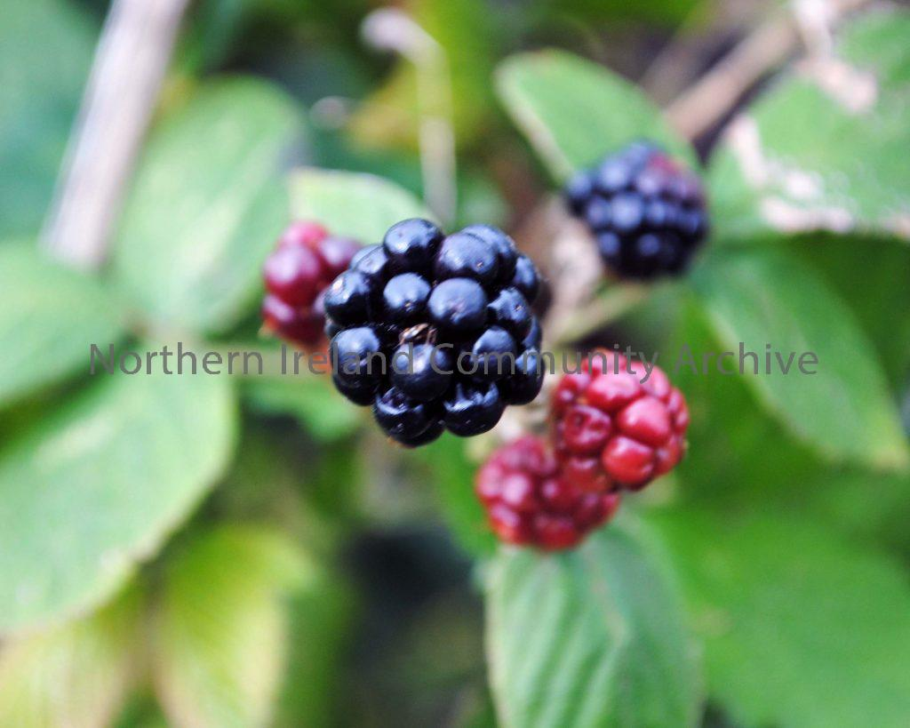 Blackberry at Broighter By Amy Hutcheon